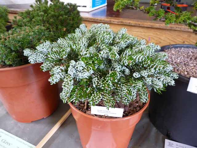 Abies Koreana Kohouts Ice Breaker