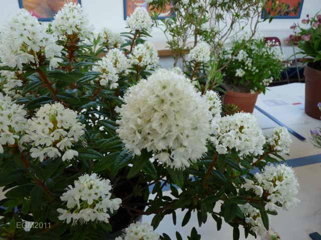 Rhododendron hypoleucu...